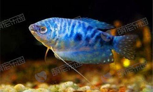 蓝星鱼该怎么养?